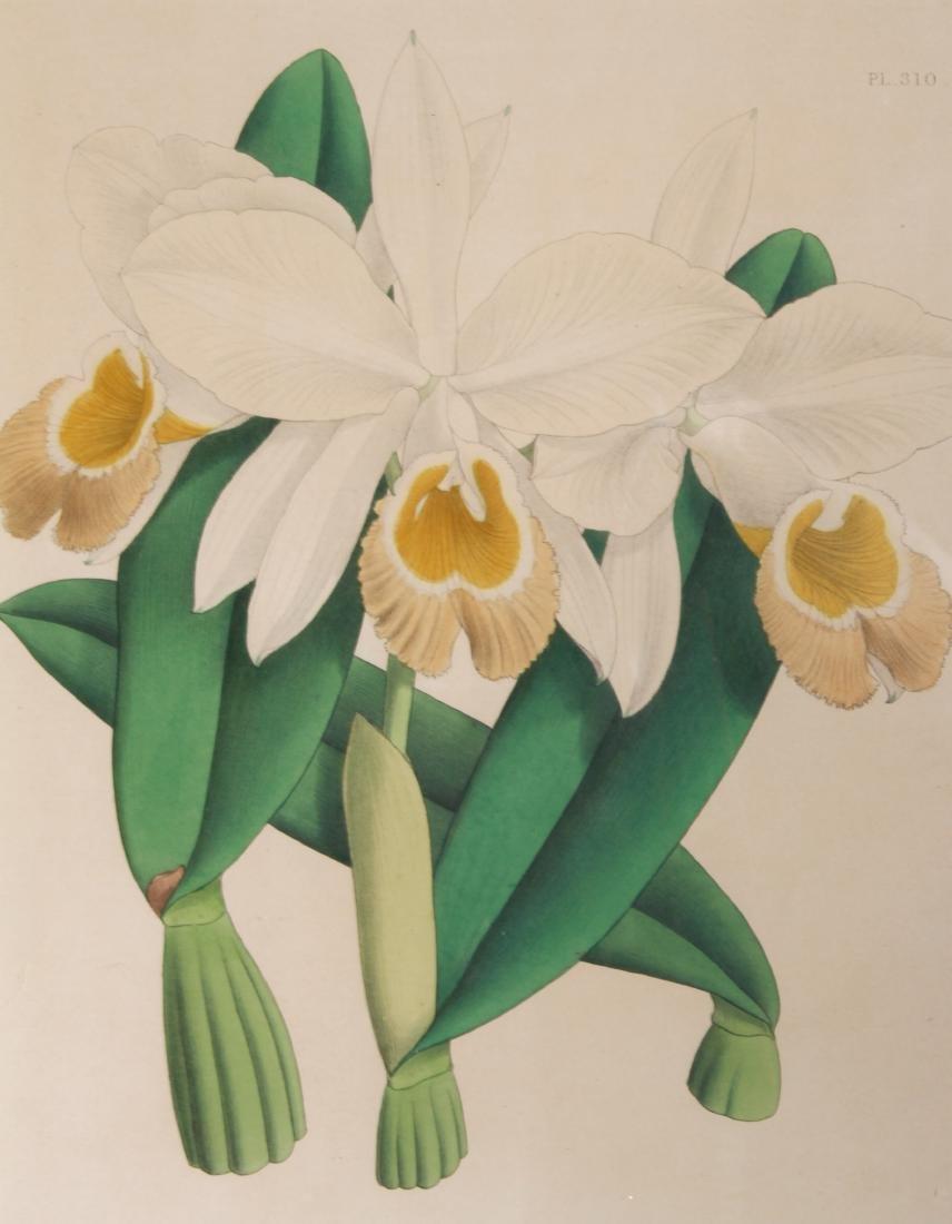 John Nugent After Fitch Orchid Botanicals Lithos, 3 - 4