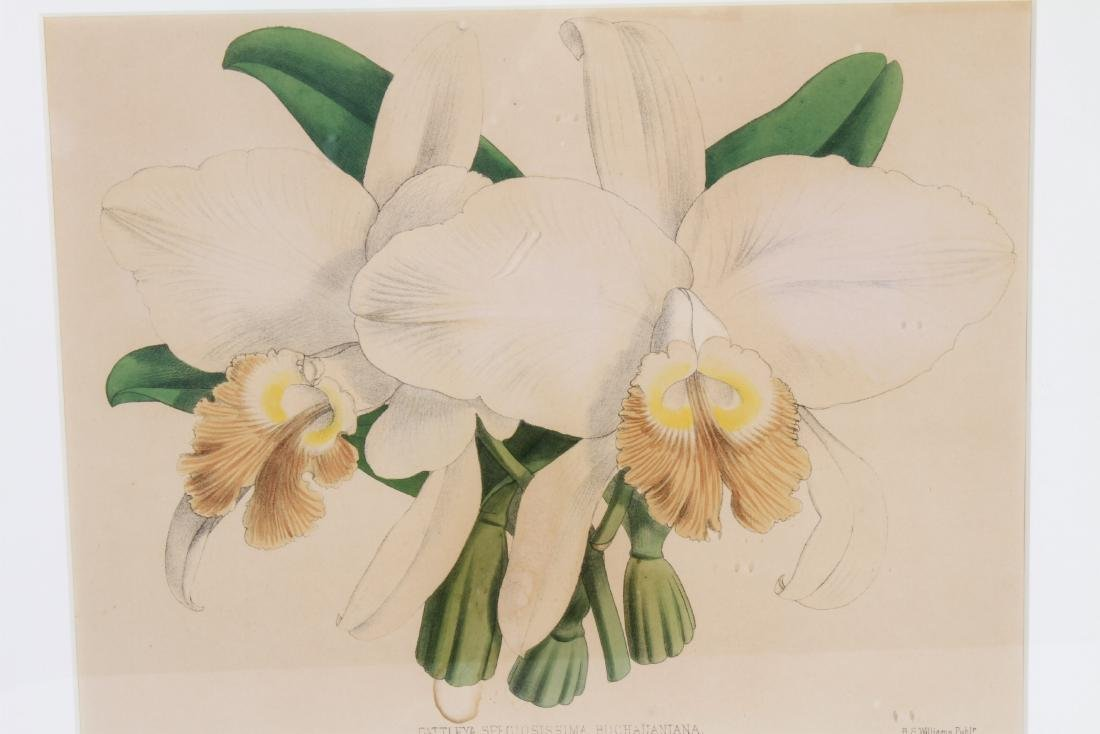 John Nugent After Fitch Orchid Botanicals Lithos, 2 - 2