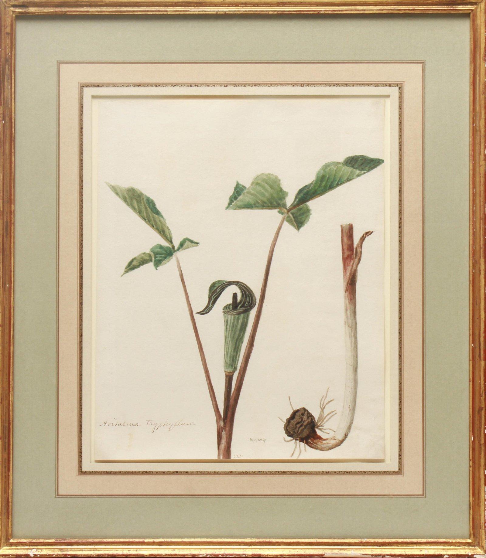 """""""Arisaema Triphyllum"""" Botanical Watercolor"""
