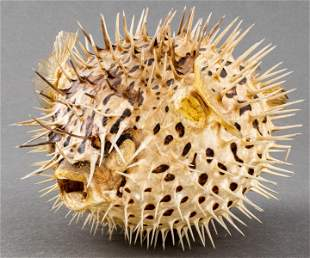 Inflated Porcupinefish Specimen, Vintage Taxidermy