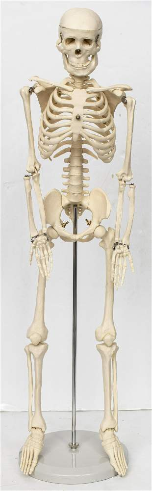 Anatomical Model of a Human Skeleton
