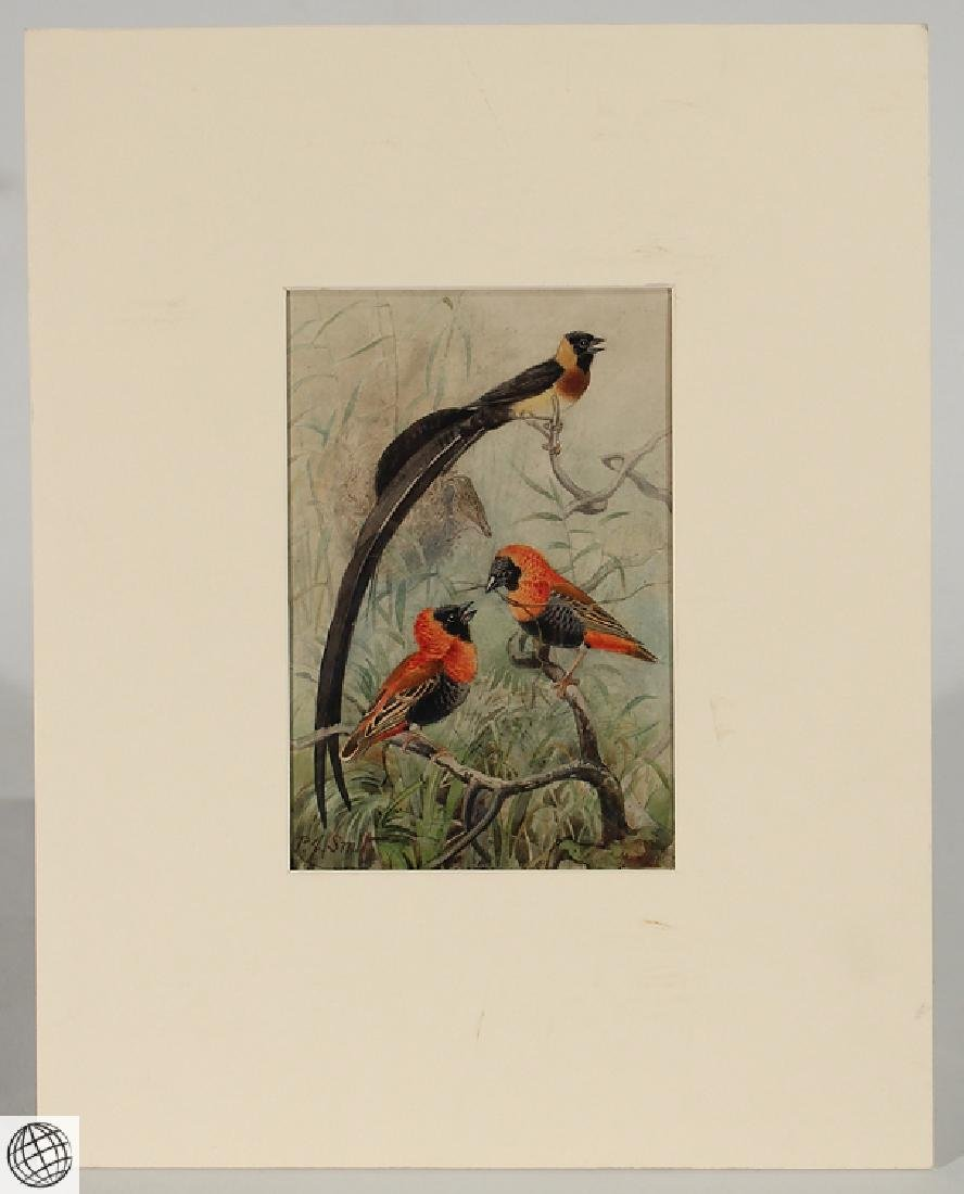 Red Bishop Paradise Willowbird SMIT Original Pencil