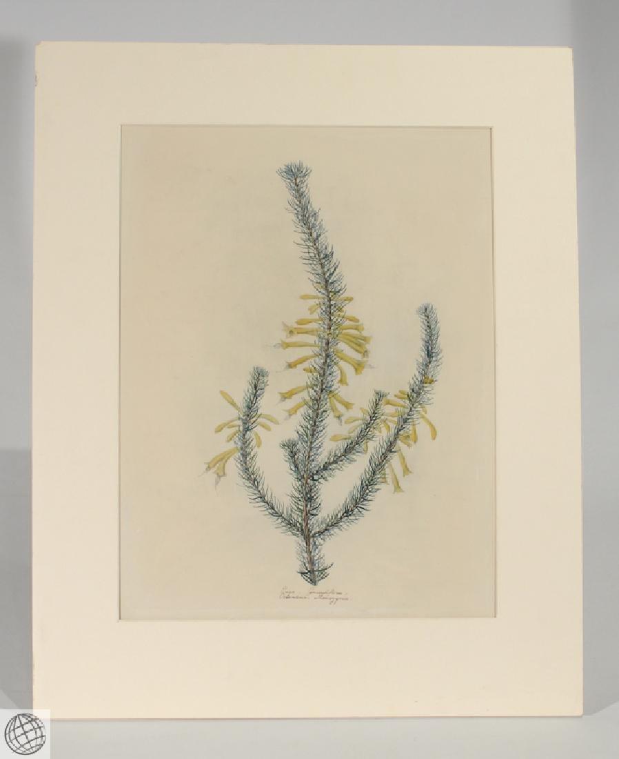 Erica Grandiflora ORIGINAL WATERCOLOR C1810 South