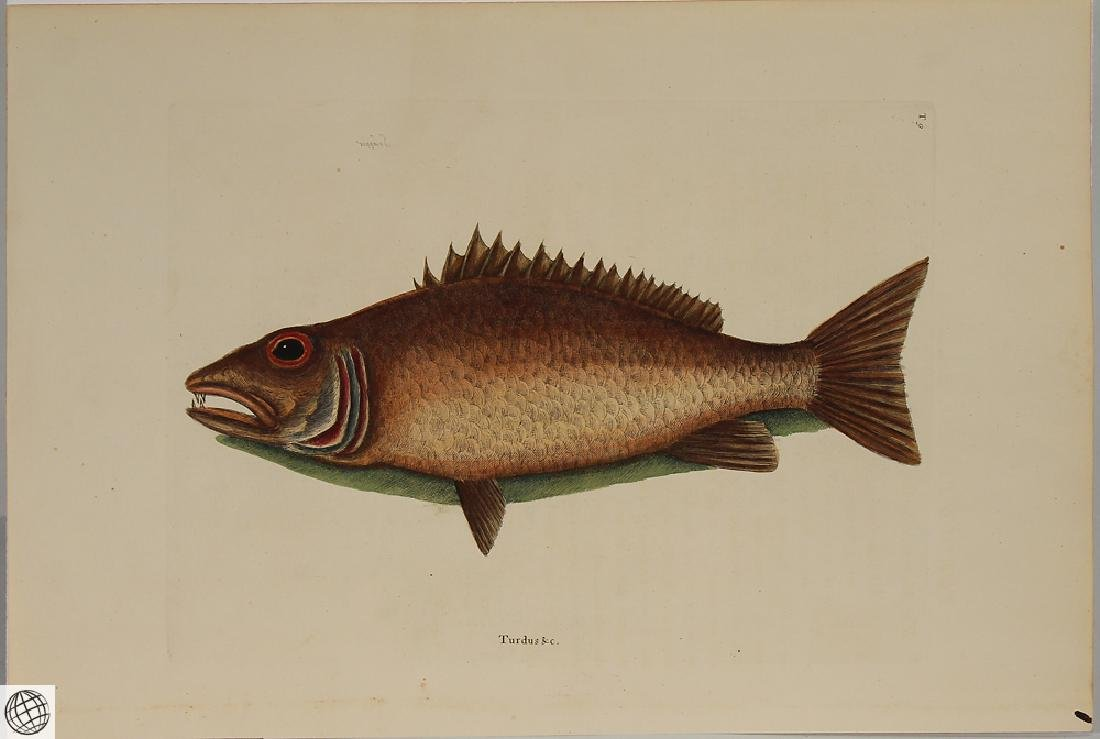 Mangrove Snapper MARK CATESBY White Hand Colored