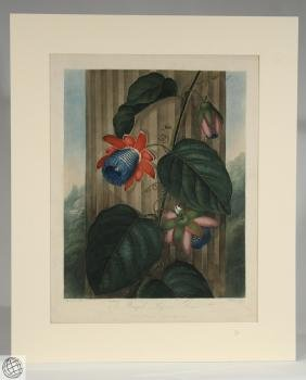Winged Passion Flower ROBERT JOHN THORNTON Hand Colored
