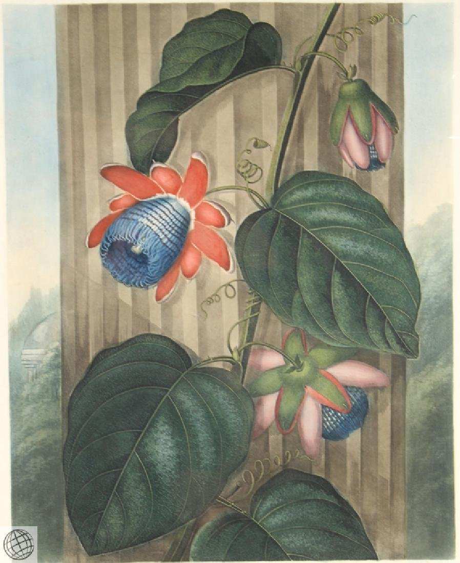 Winged Passion Flower ROBERT JOHN THORNTON Hand Colored - 2