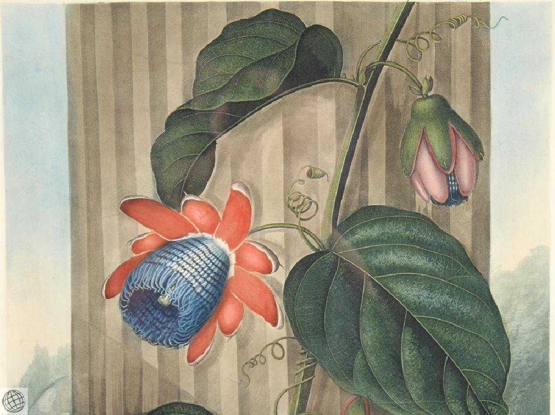 Winged Passion Flower ROBERT JOHN THORNTON Hand Colored - 3