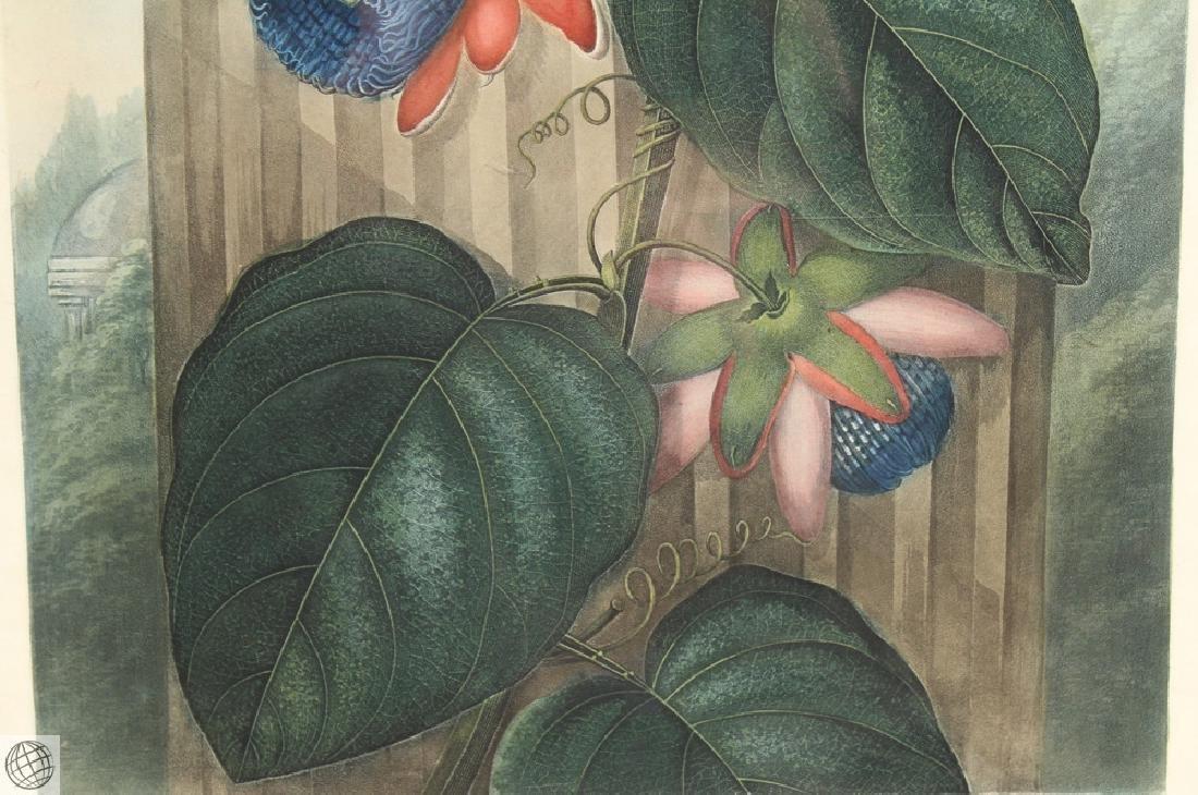 Winged Passion Flower ROBERT JOHN THORNTON Hand Colored - 4