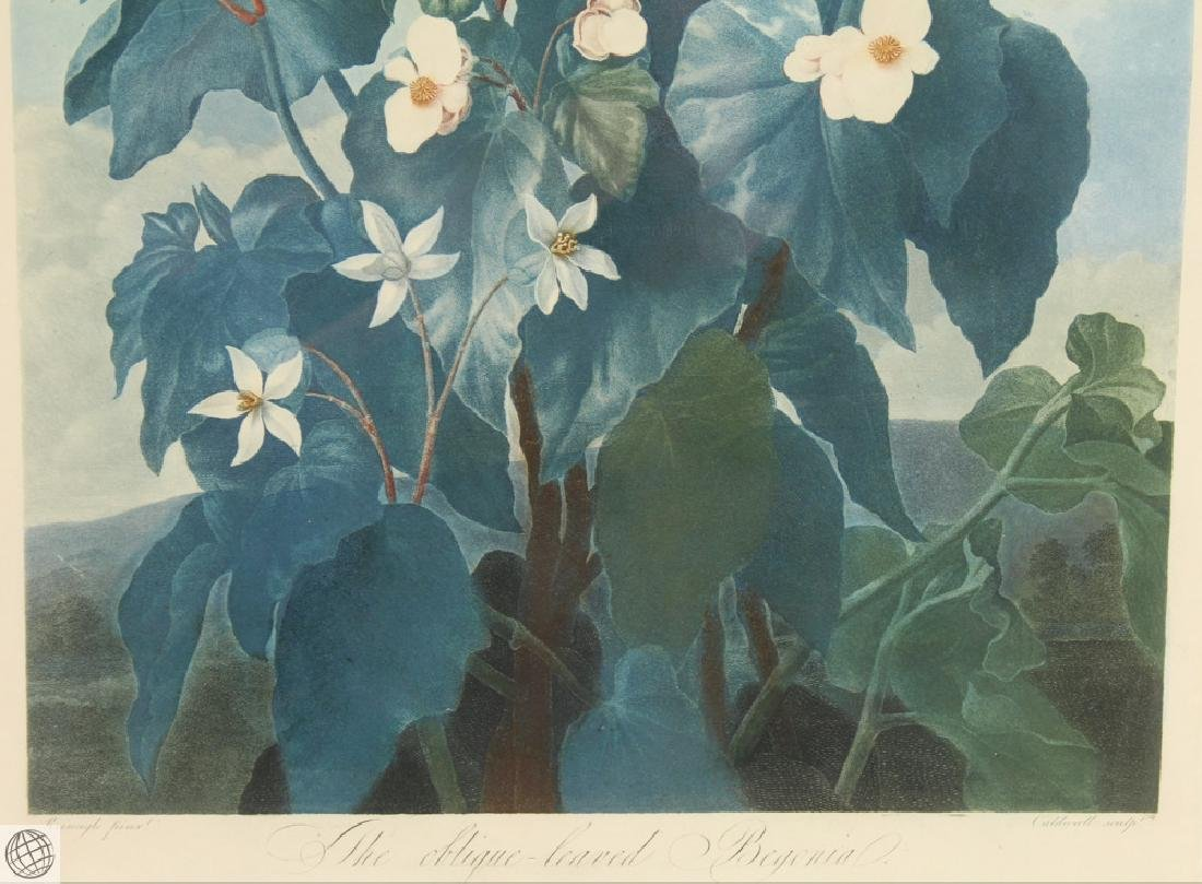 Oblique Leaved Begonia ROBERT JOHN THORNTON Hand - 4