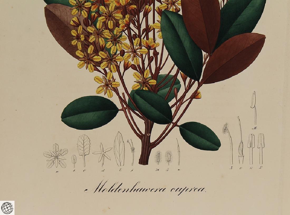 2Pcs Moldenhaivera Vochysia POHL Hand Colored - 10