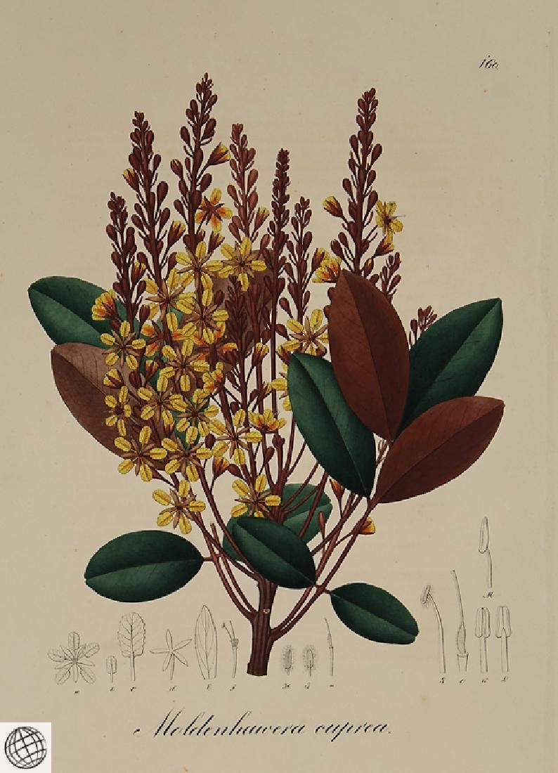 2Pcs Moldenhaivera Vochysia POHL Hand Colored - 8