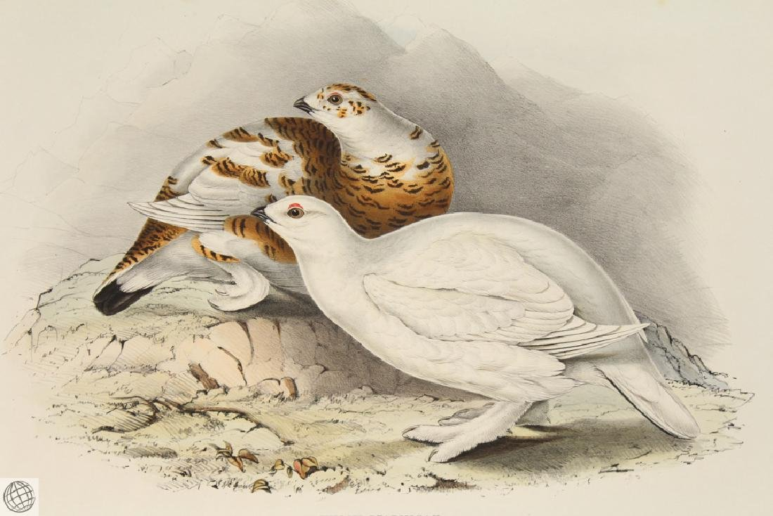 Willow Ptarmigan JOHN GOULD Hand Colored Lithograph - 2