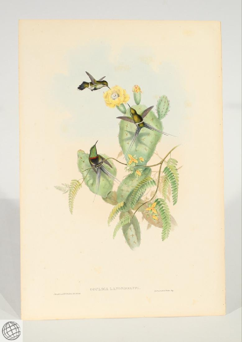 Langsdorff's Thorntail JOHN GOULD Hand Colored