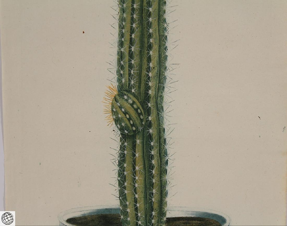 Thorny Cactus WEINMANN Hand Colored Engraving 18th C - 3