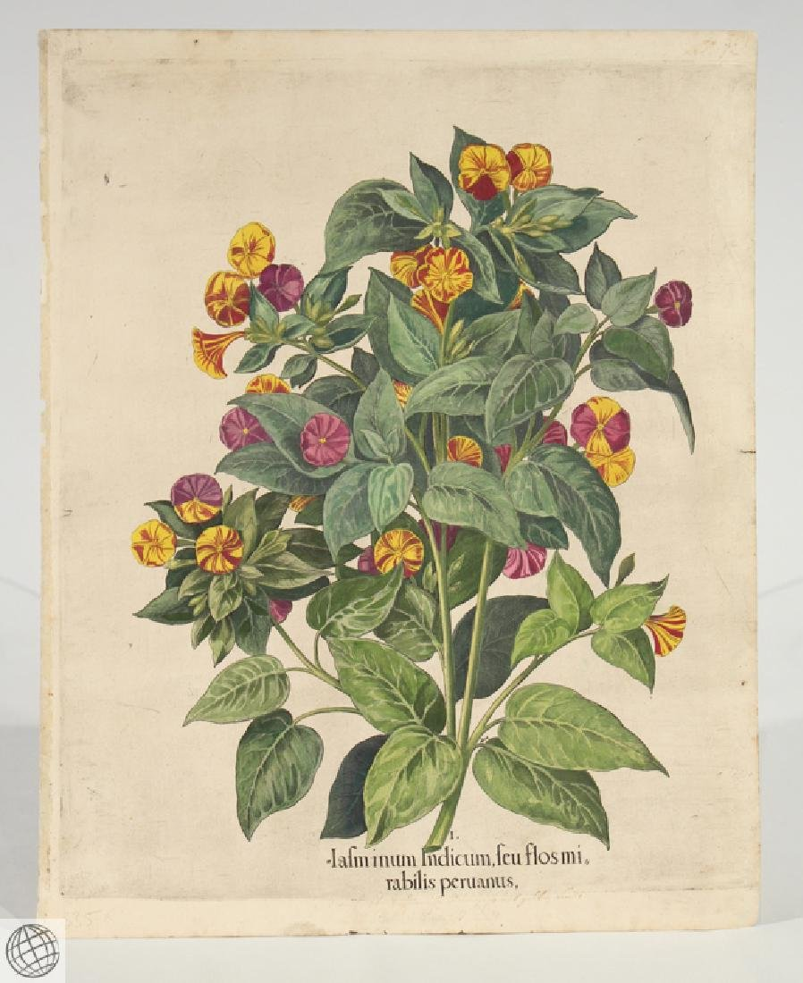 Yellow Four O'Clock BASIL BESLER Hand Colored Engraving