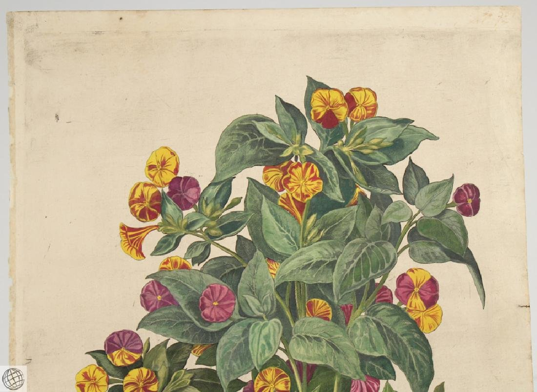 Yellow Four O'Clock BASIL BESLER Hand Colored Engraving - 2