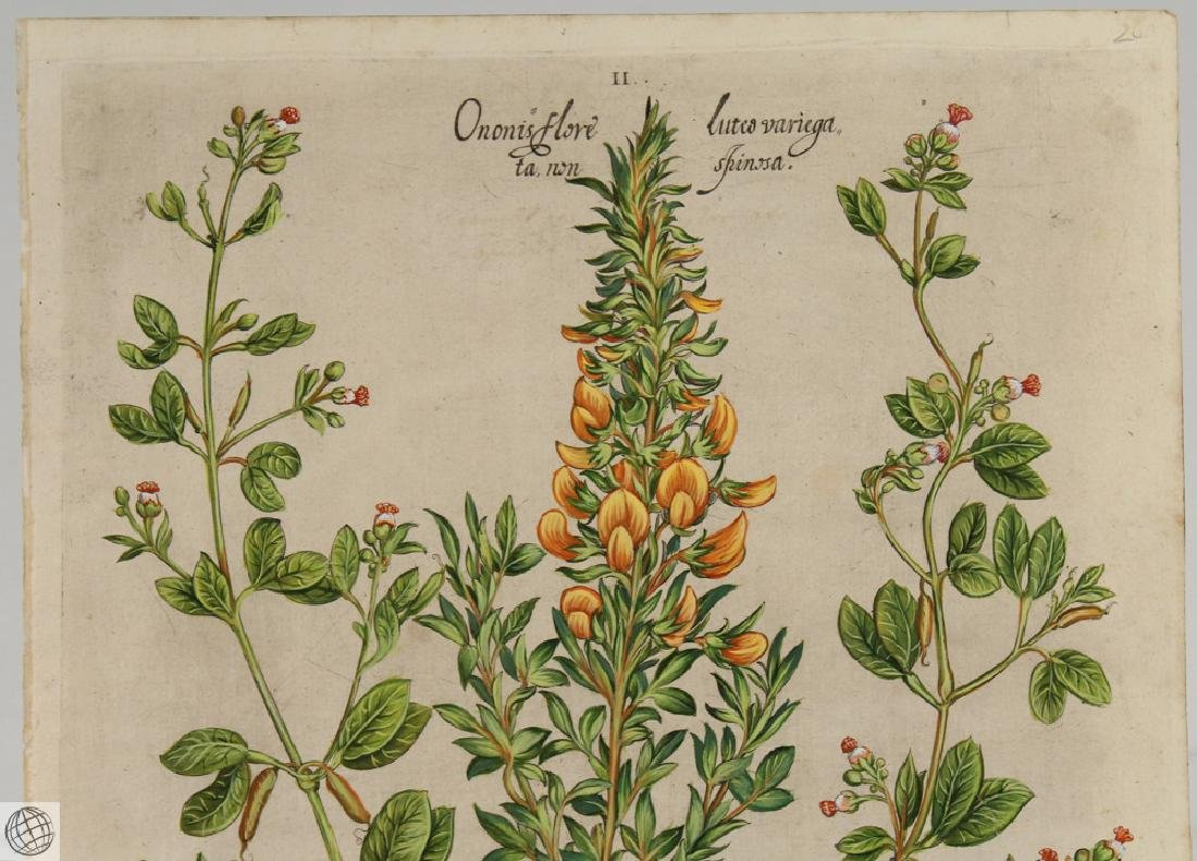 False Caper BASIL BESLER Hand Colored Engraving 1640 - 2