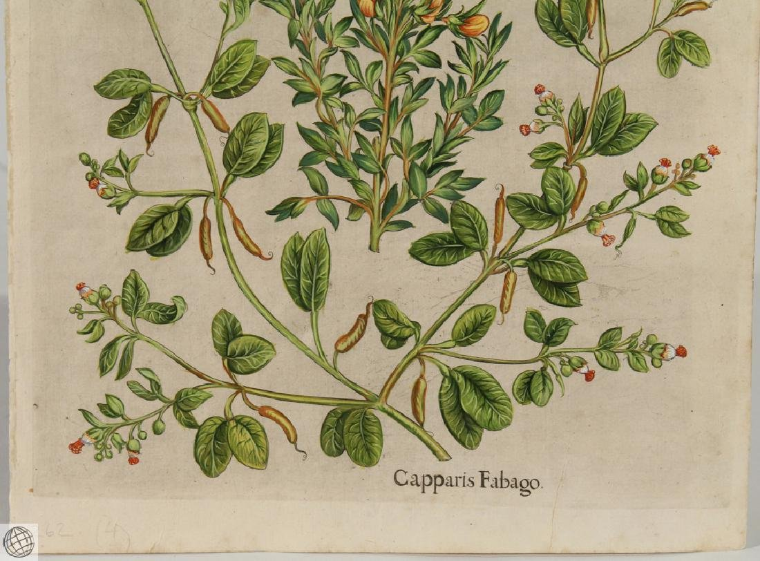 False Caper BASIL BESLER Hand Colored Engraving 1640 - 3