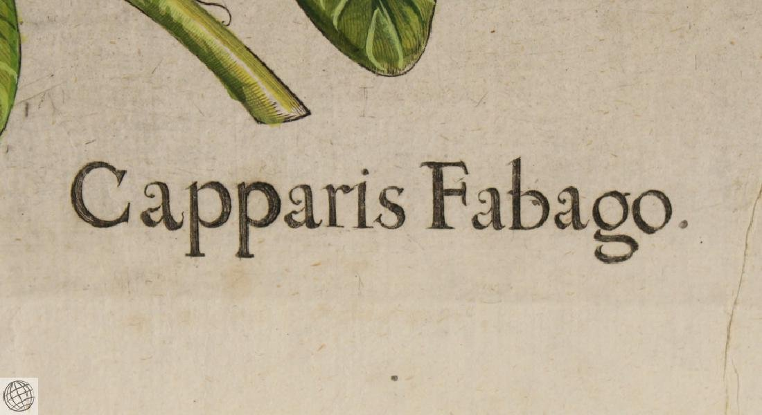 False Caper BASIL BESLER Hand Colored Engraving 1640 - 4