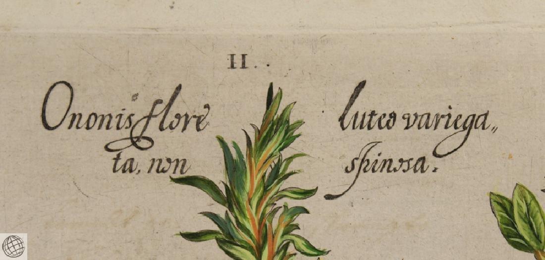 False Caper BASIL BESLER Hand Colored Engraving 1640 - 5