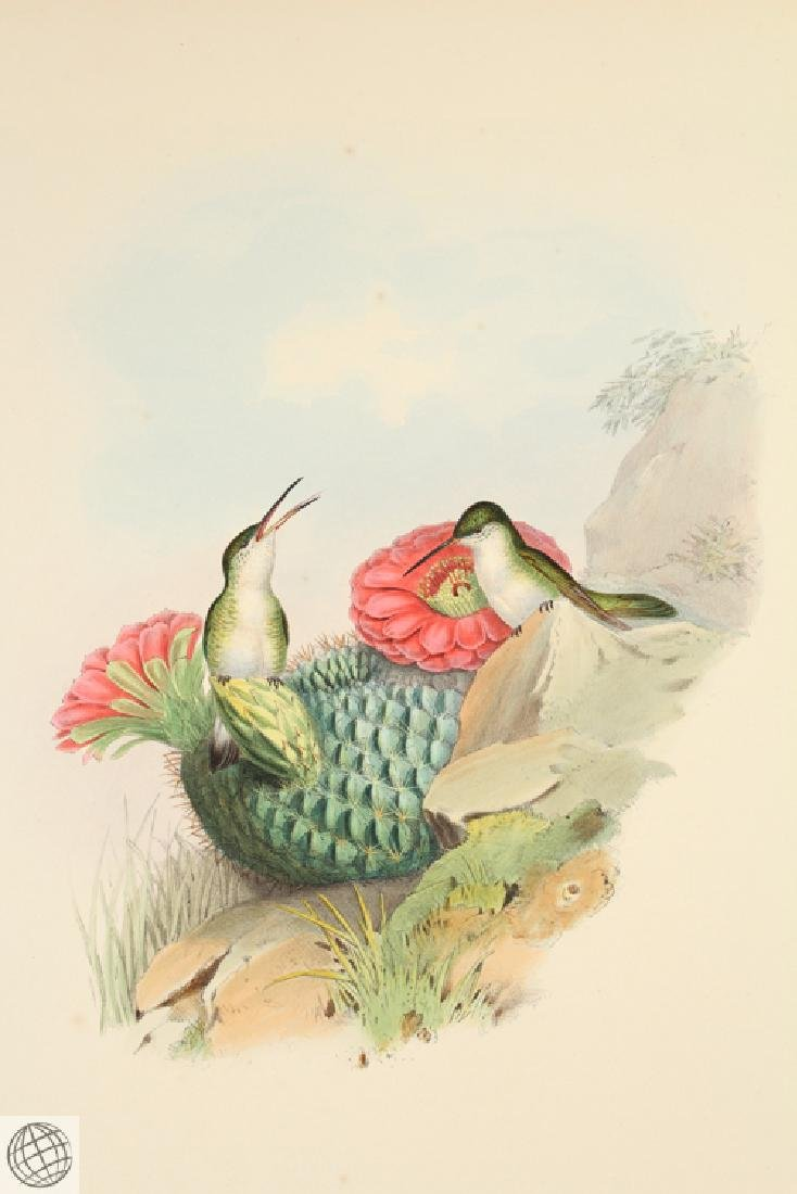 Whitebreasted Leucippus JOHN GOULD Hand Colored - 2