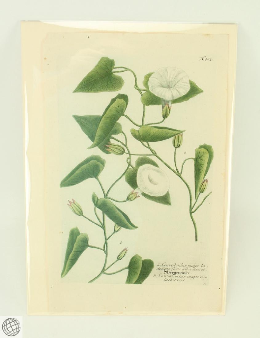 Bindweed JOHANN WILHELM WEINMANN 1734-1745 Engraving