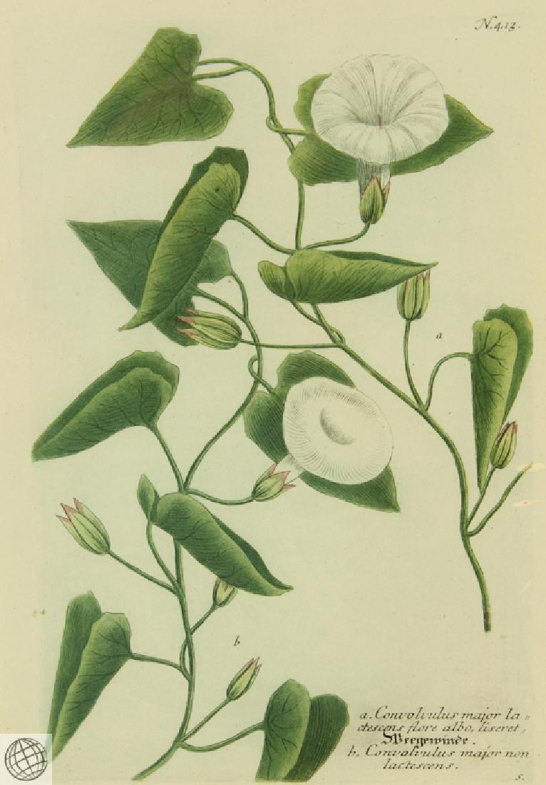 Bindweed JOHANN WILHELM WEINMANN 1734-1745 Engraving - 2