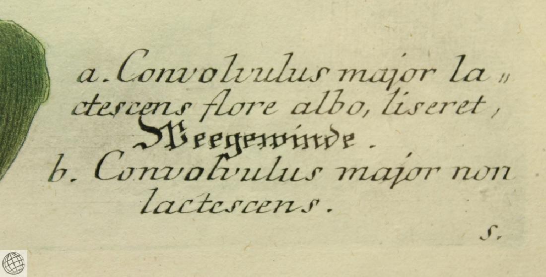 Bindweed JOHANN WILHELM WEINMANN 1734-1745 Engraving - 3