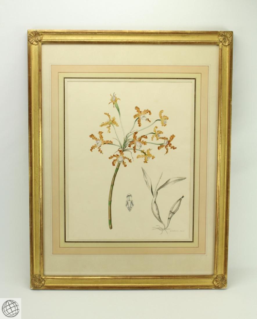 Encyclia sp Orchid RICHARD NORBURY 1838 Pencil Pen Ink