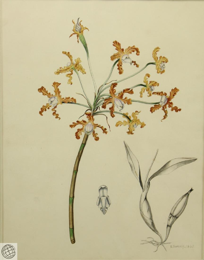 Encyclia sp Orchid RICHARD NORBURY 1838 Pencil Pen Ink - 2