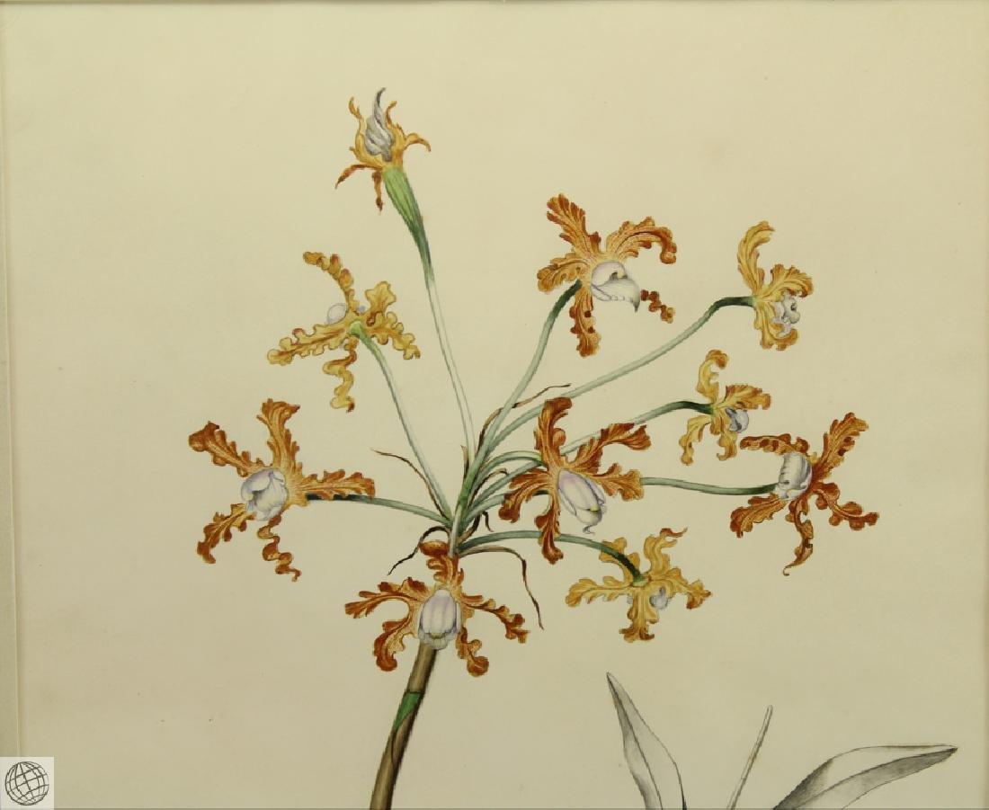 Encyclia sp Orchid RICHARD NORBURY 1838 Pencil Pen Ink - 3