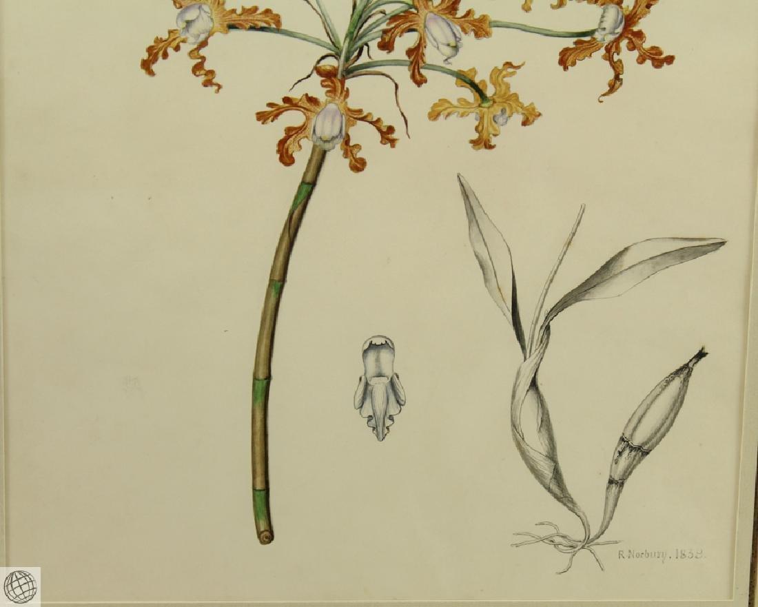 Encyclia sp Orchid RICHARD NORBURY 1838 Pencil Pen Ink - 4