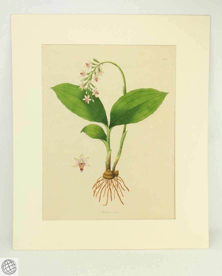 Limodorum Nutans WILLIAM ROXBURGH 1795-1820 Engraving