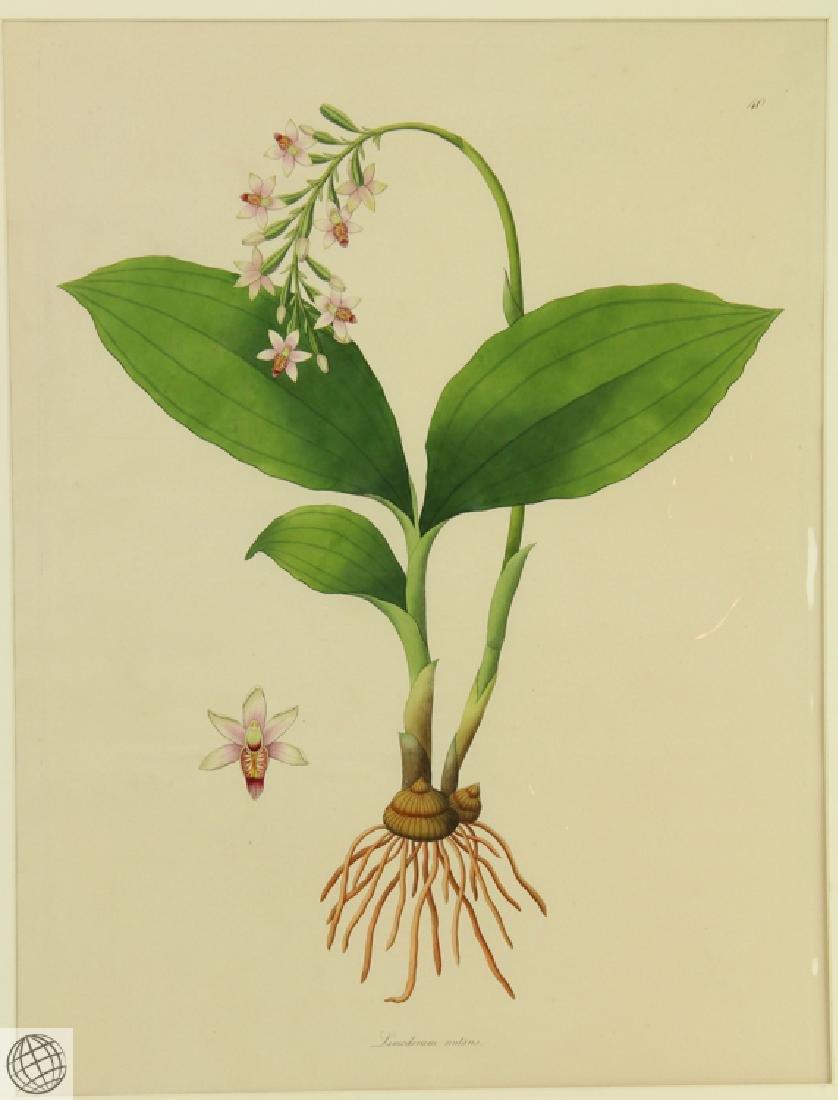 Limodorum Nutans WILLIAM ROXBURGH 1795-1820 Engraving - 2