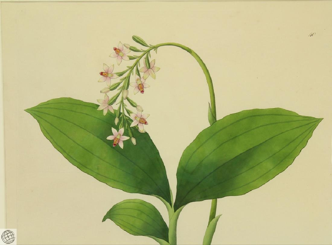 Limodorum Nutans WILLIAM ROXBURGH 1795-1820 Engraving - 3