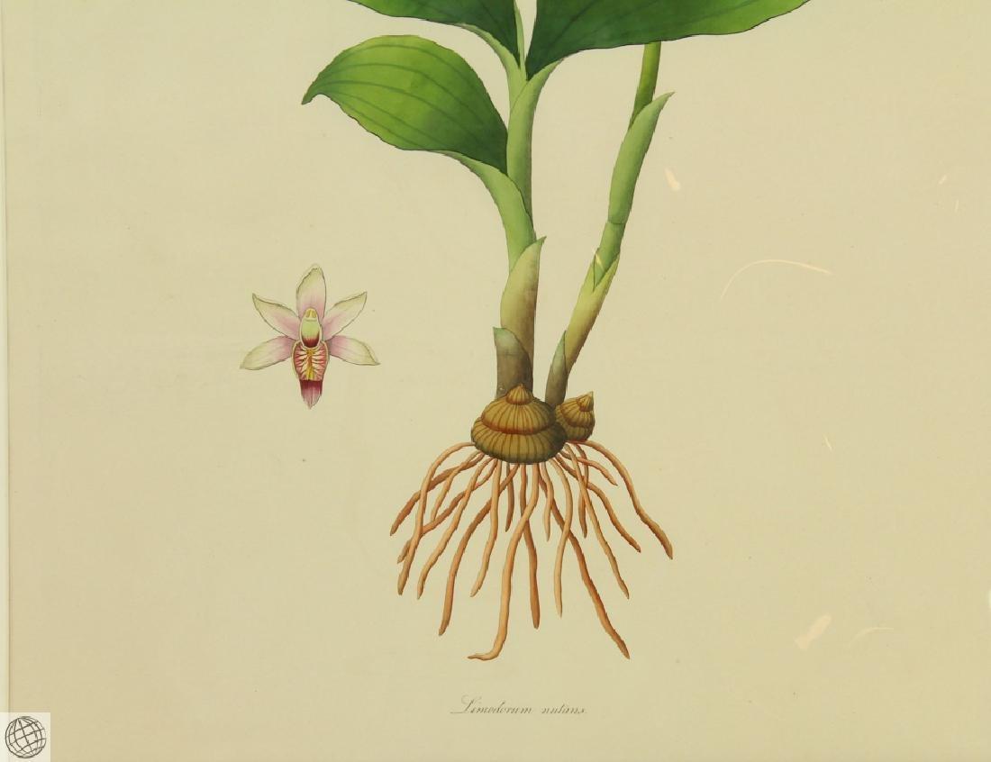 Limodorum Nutans WILLIAM ROXBURGH 1795-1820 Engraving - 4
