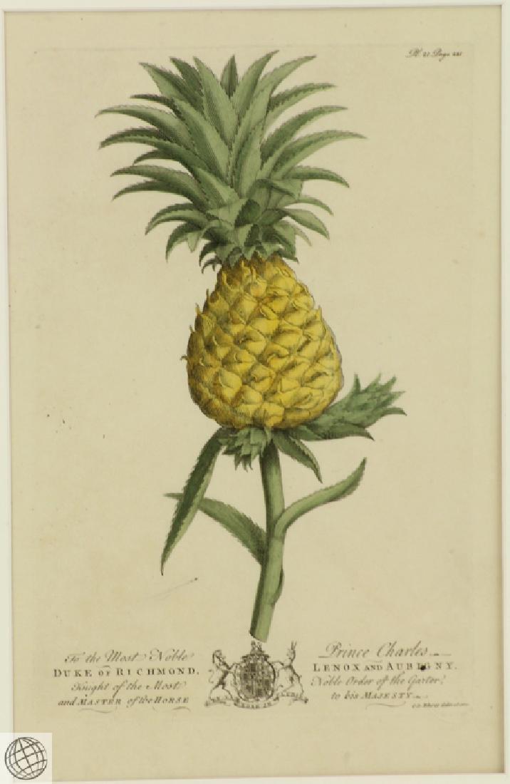 The Pine Apple GEORGE DIONYSIUS EHRET 1750 Copper - 2