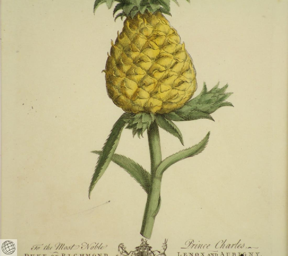 The Pine Apple GEORGE DIONYSIUS EHRET 1750 Copper - 4