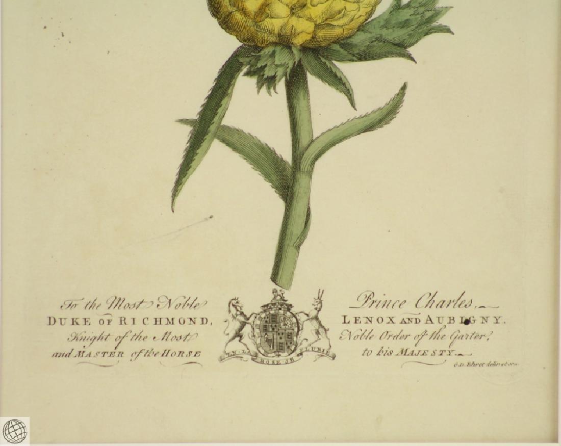 The Pine Apple GEORGE DIONYSIUS EHRET 1750 Copper - 5