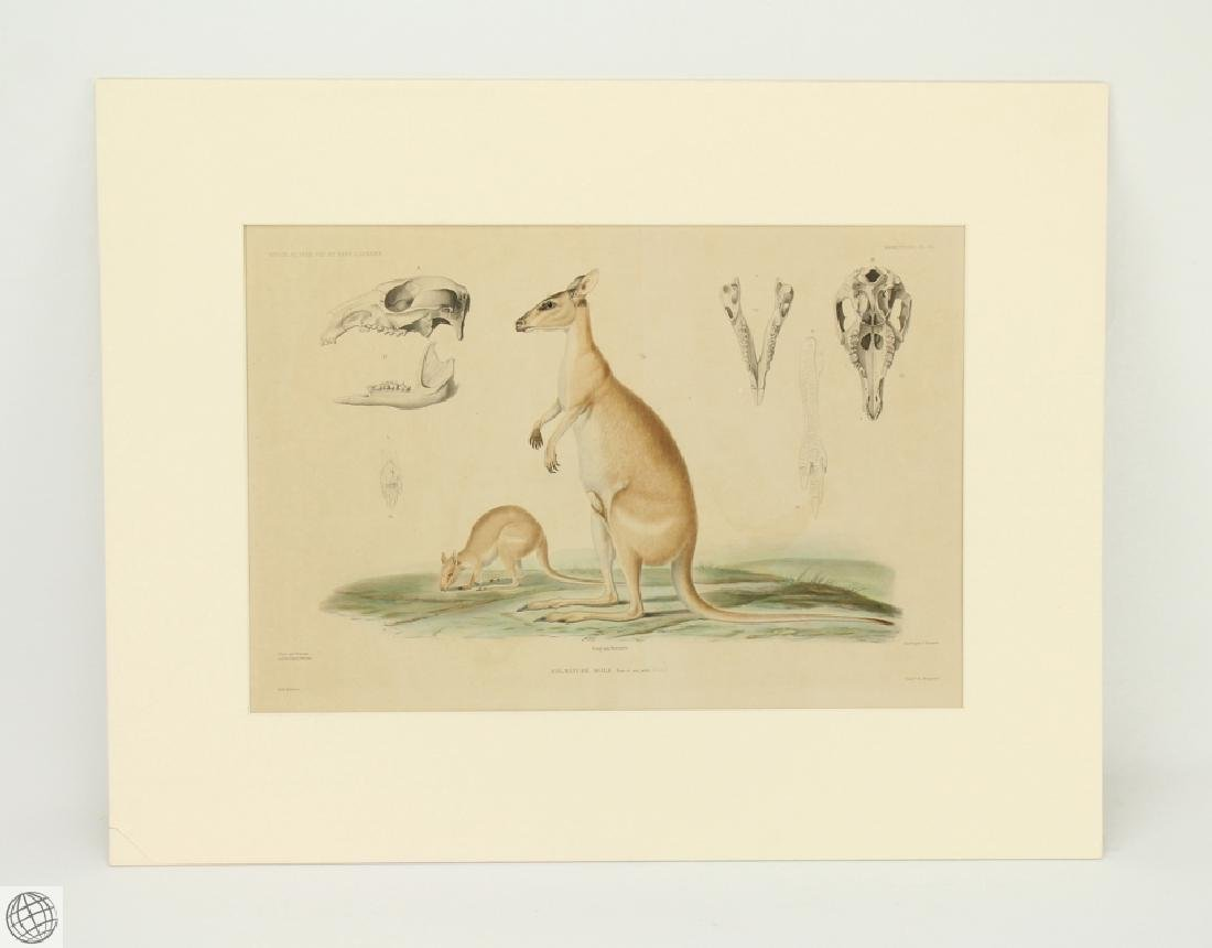JEAN CHARLES WERNER Agile Wallaby 1841-1854 Engraving