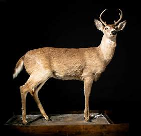 Taxidermy Full Body YOUNG STAG MOUNTED WHITETAIL DEER
