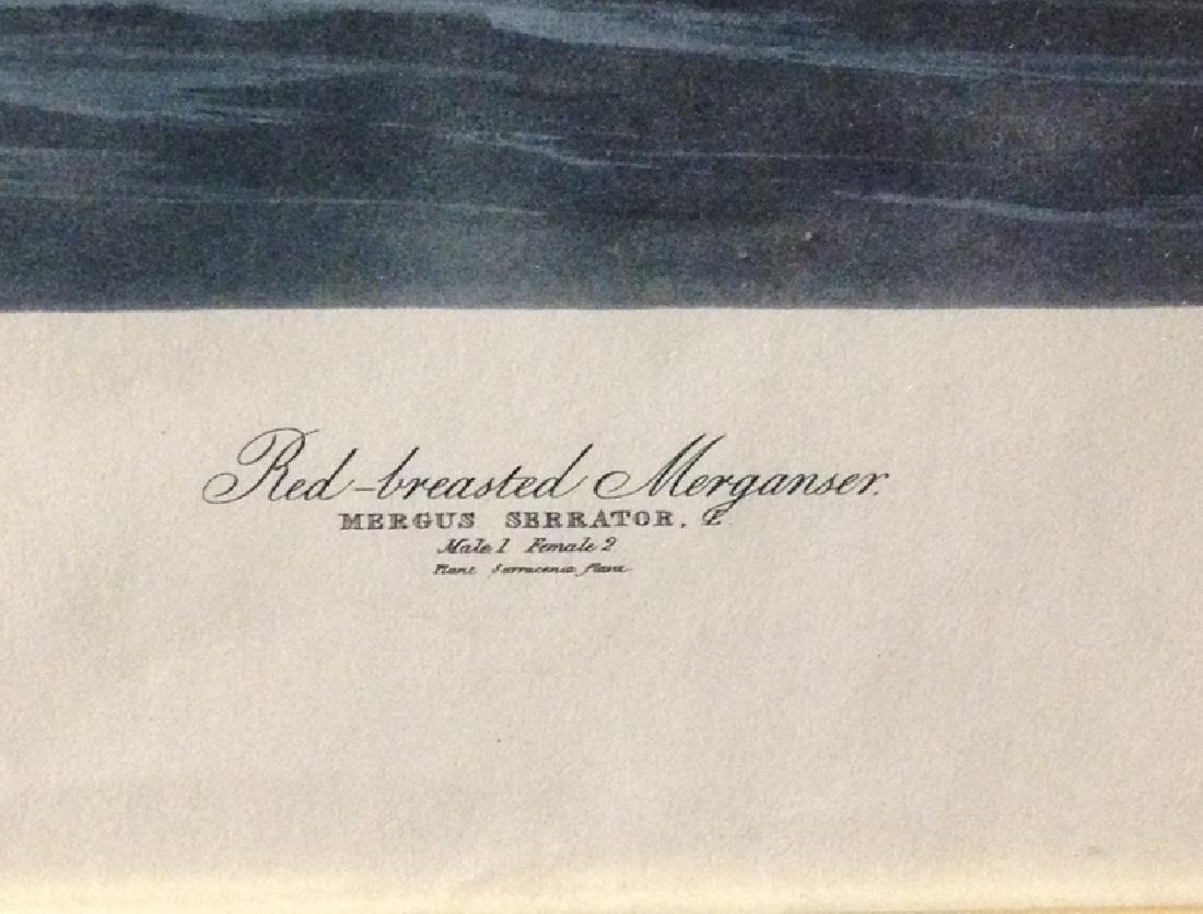J-J AUDUBON Print RED Breasted Merganser - 2