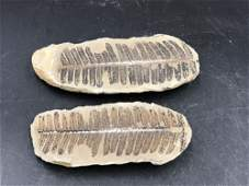 Fern, Fossil, Natural, Collectible, Specimen, Mazon
