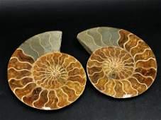 Ammonite Fossil Rock Natural Collectible Specimen