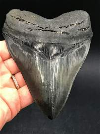 Shark, Fossil, Natural, Collectible, Specimen, Tooth,