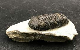 Trilobite, Fossil, Rock, Natural, Collectible, Specimen