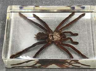 Spider, Natural, Decor, Collectible, Paperweight