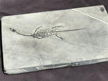 Dinosaur, Fossil, Natural, Collectible, Specimen, Slab