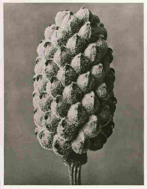 1167: KARL BLOSSFELDT (German) Vintage photogravure