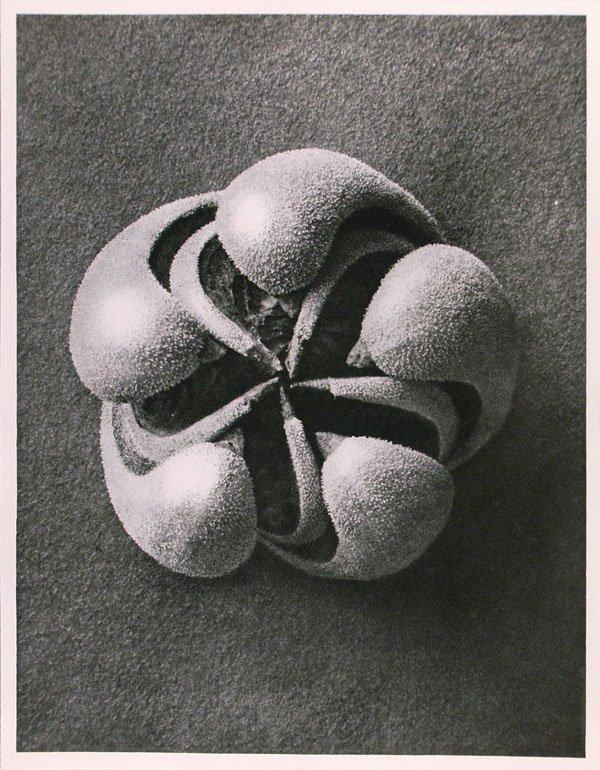 1176: KARL BLOSSFELDT (German) Vintage photogravure